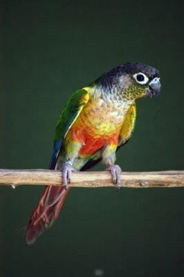 Opaline Green cheecked Conure